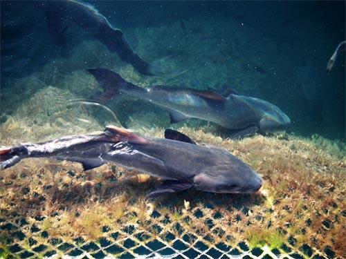 Cá mập Côn Đảo